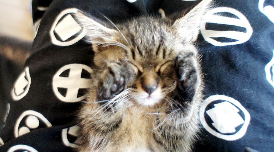子猫がアッチョンブリケ